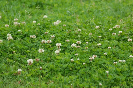 white clover flickr pigsonthewinguk